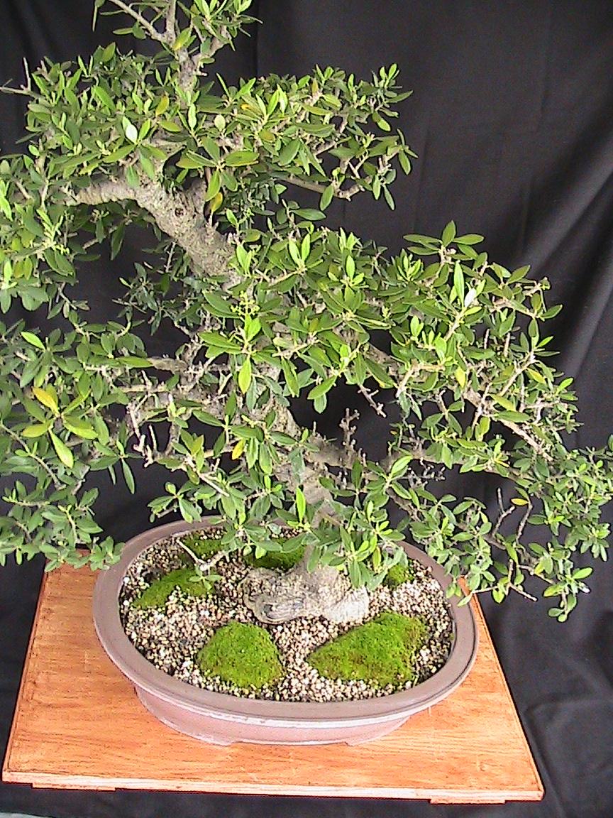 Olive Bonsai Kuromatsubonsai Com
