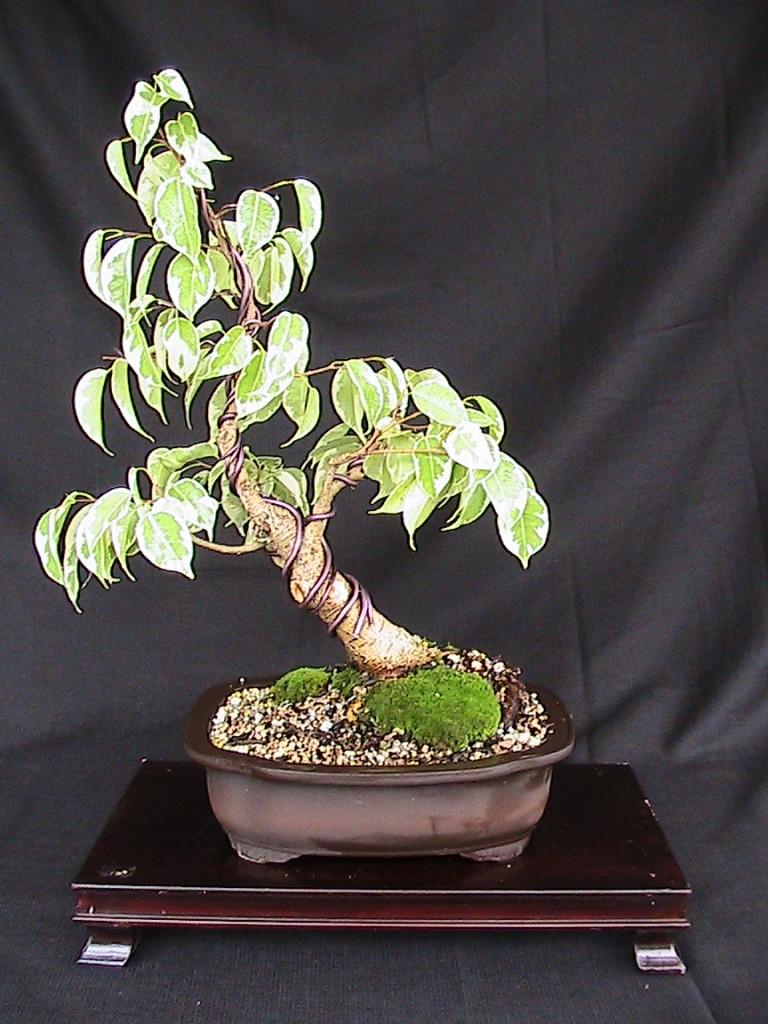 ficus benjamina, ficus benjamina starlight, ficus starlight bonsai