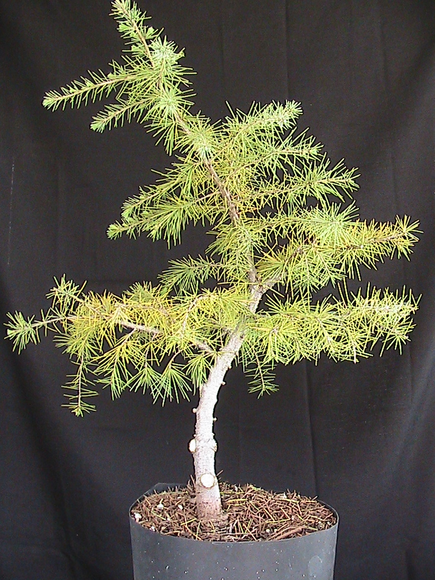 Outstanding Cedar Bonsai Kuromatsubonsai Com Wiring Digital Resources Funapmognl