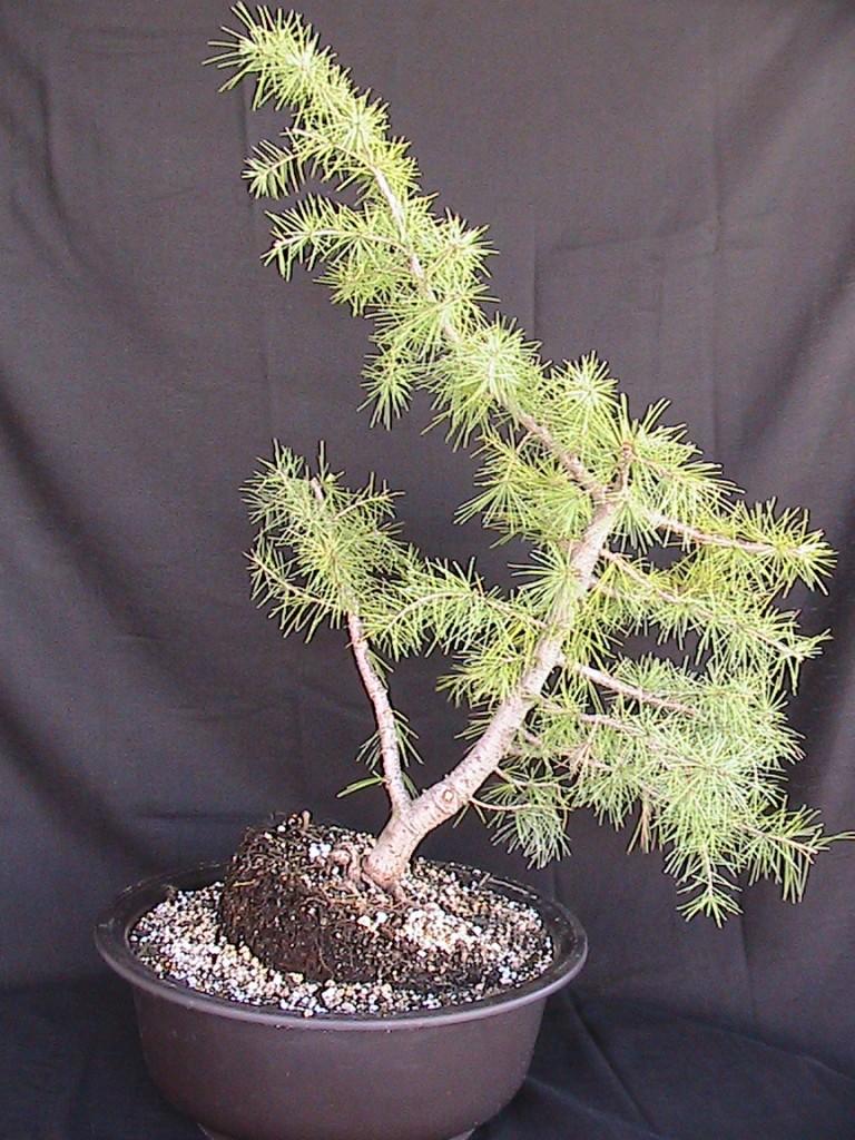 deodar cedar bonsai