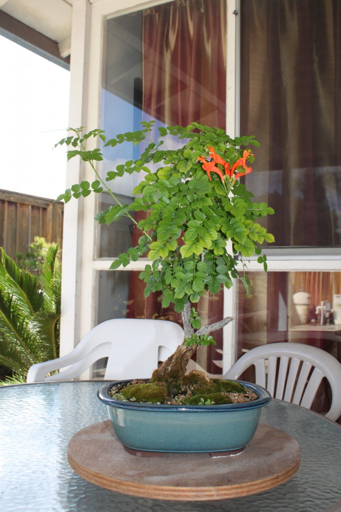 cape honeysuckle bonsai