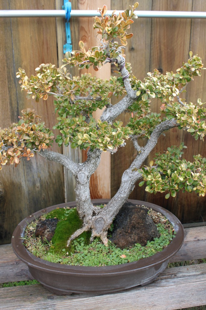 Boxwood Bonsai