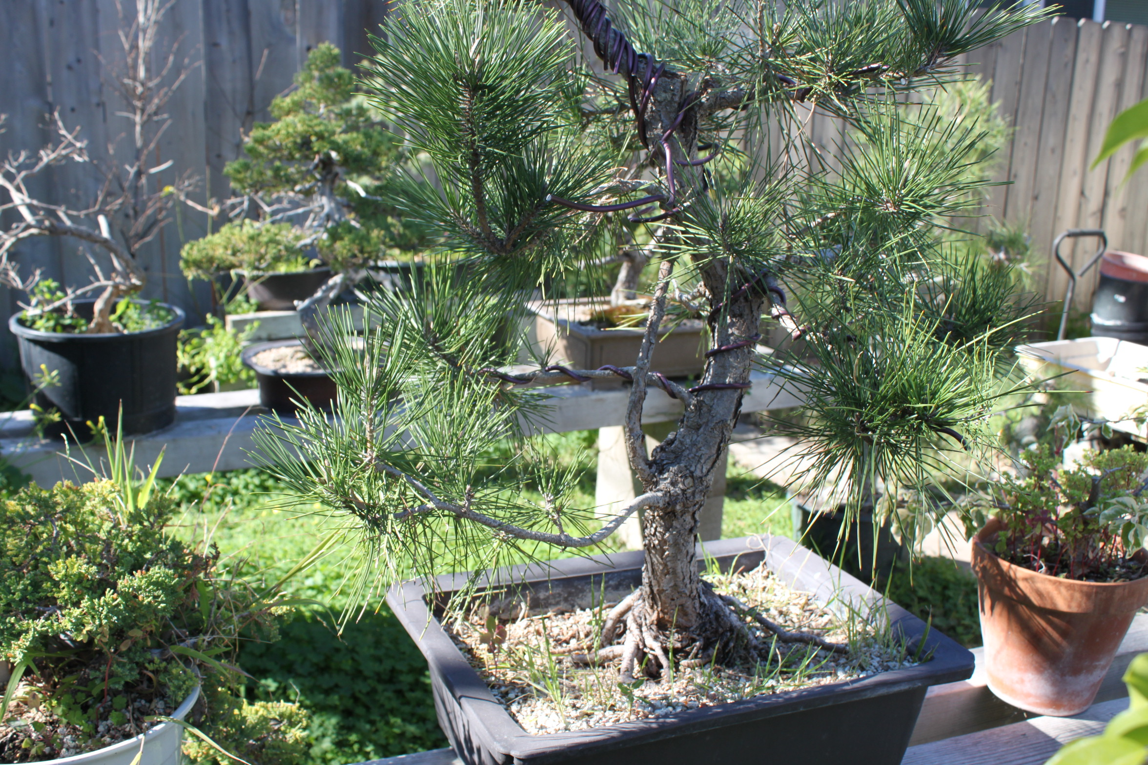Remarkable How Do I Make My Bonsai Trunk Thicker Kuromatsubonsai Com Wiring Digital Resources Timewpwclawcorpcom