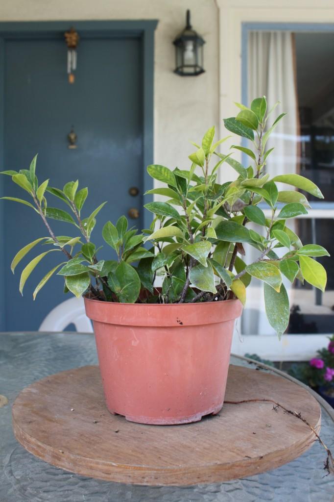 Ginseng Ficus Cuttings