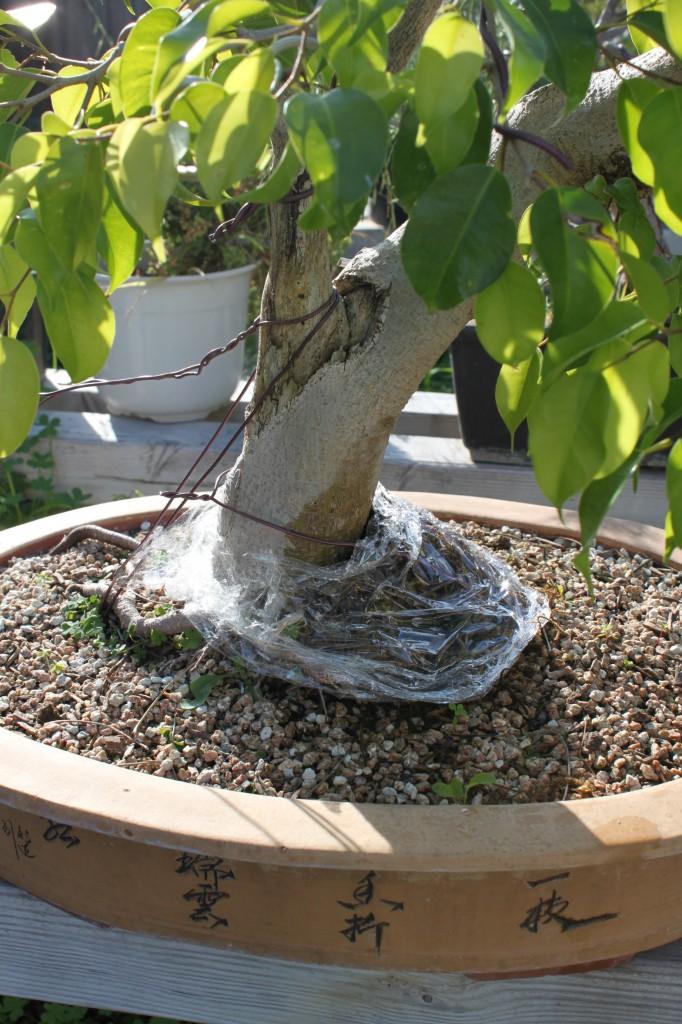 ficus benjamina, ficus benjamina bonsai