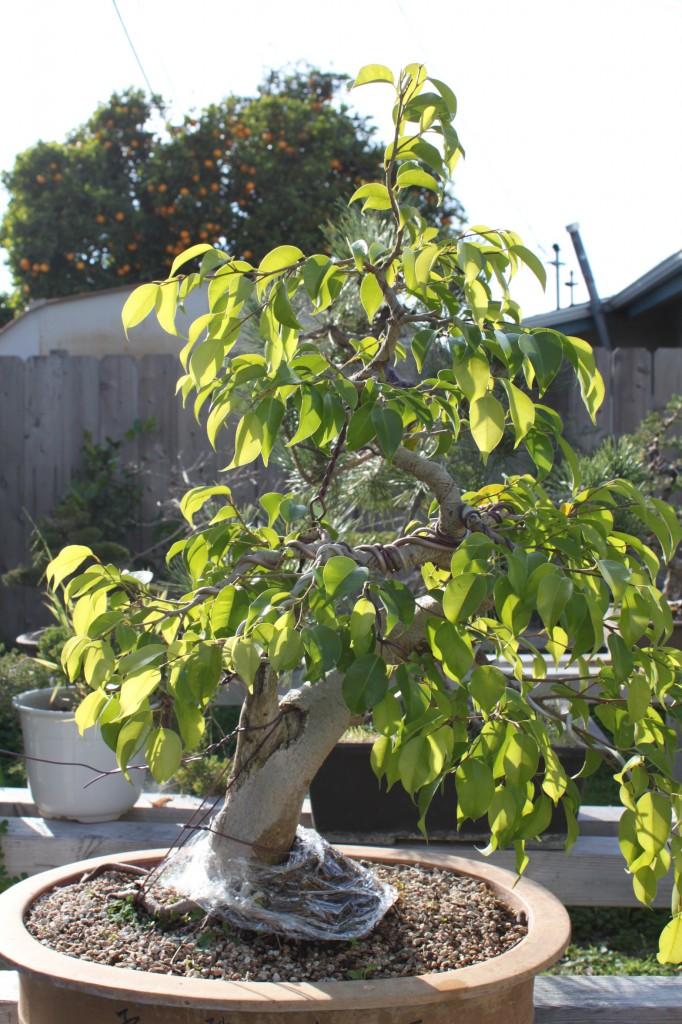 Ficus Bonsai, ficus benjamina, ficus benjamina bonsai, bonsai ficus