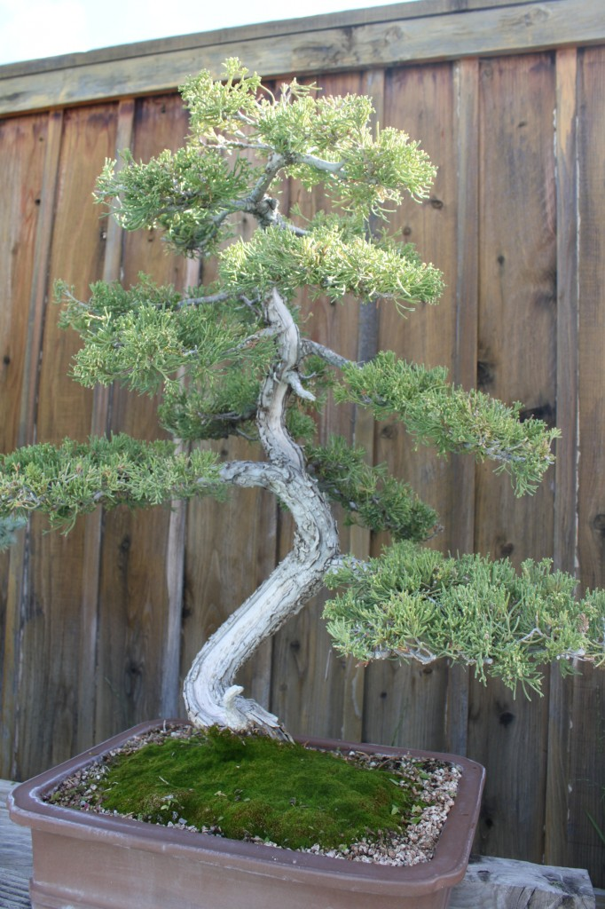 prostrata juniper bonsai