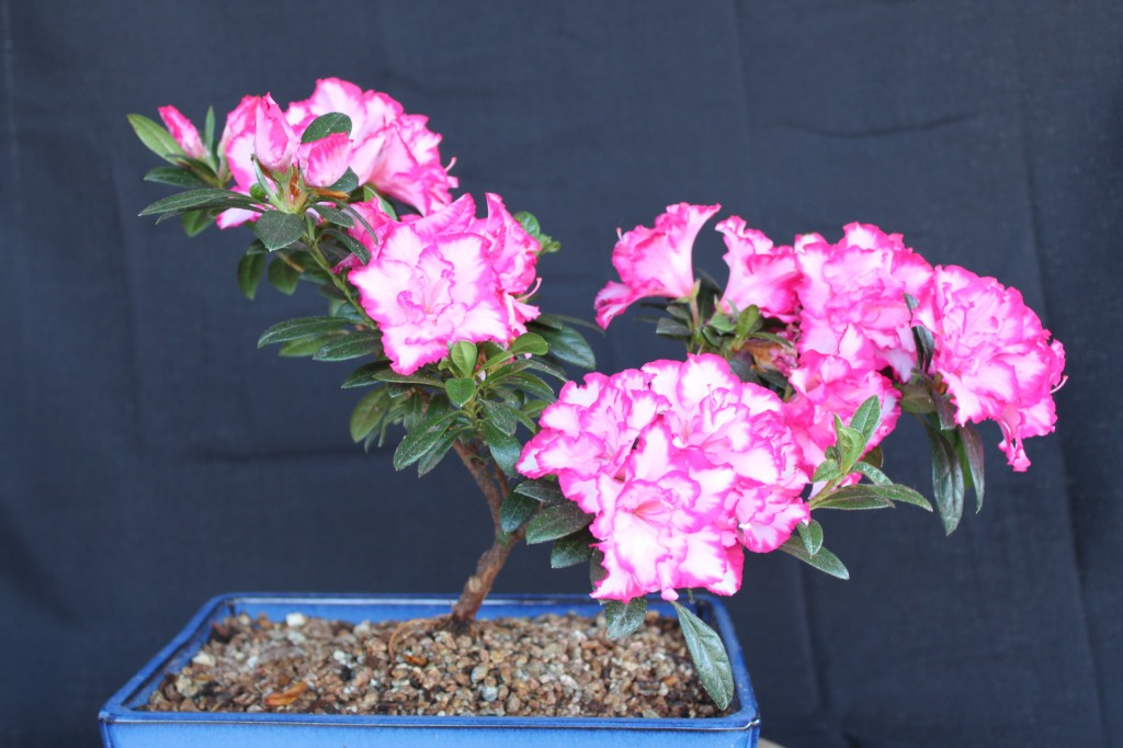 Azalea bonsai - Care azaleas keep years ...