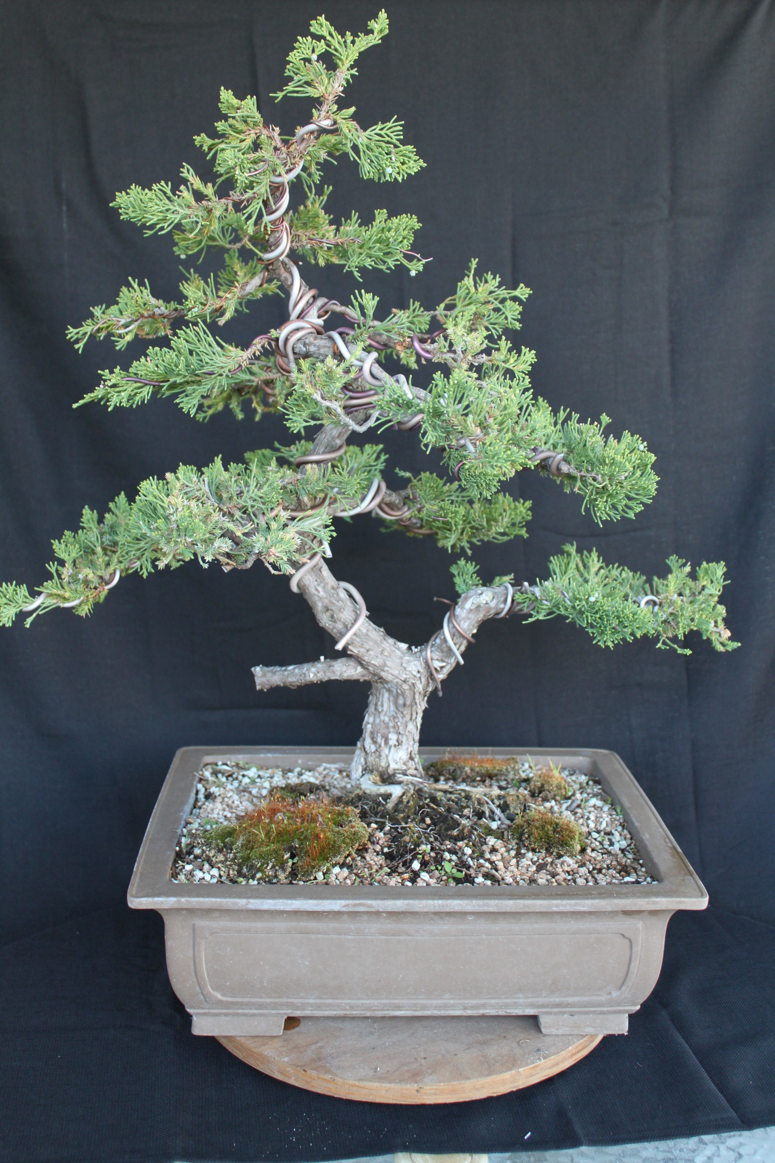 Juniper bonsai for The juniper