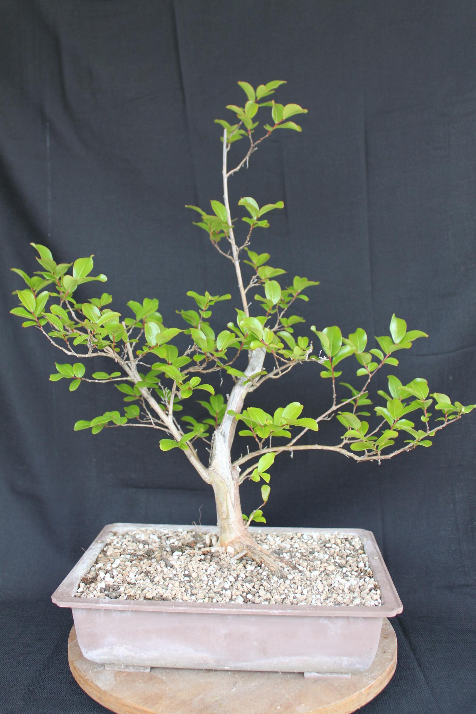 crape myrtle bonsai kuromatsubonsaicom