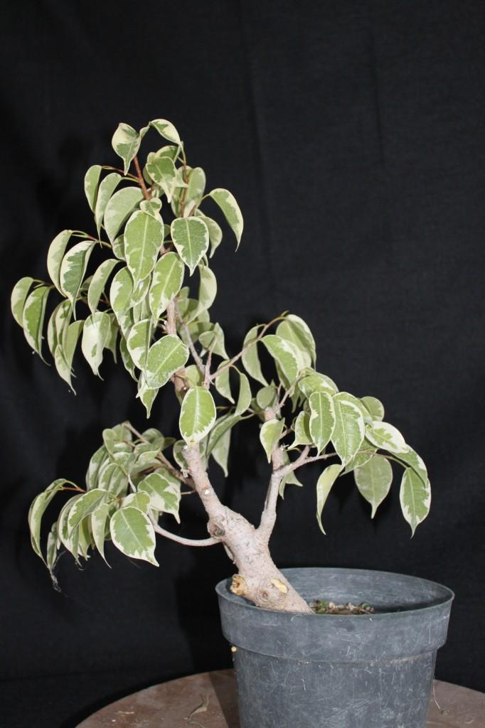 starlight ficus, ficus benjamina starlight, starlight ficus bonsai, ficus starlight bonsai, ficus benjamina starlight bonsai