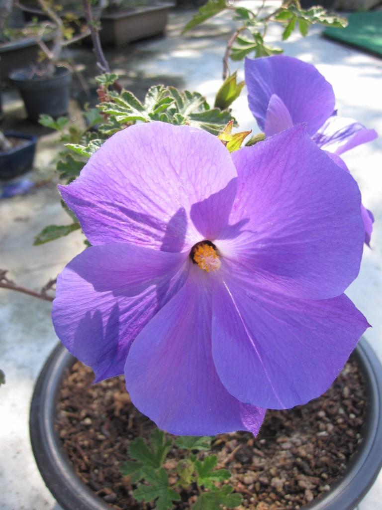 hibiscus syriacum