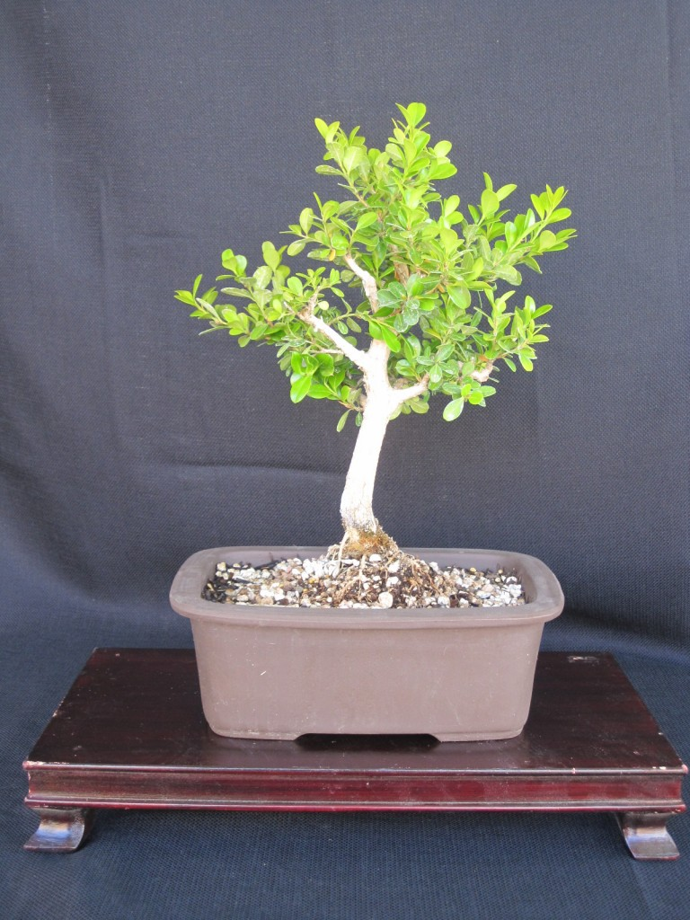 Shohin Boxwood Bonsai