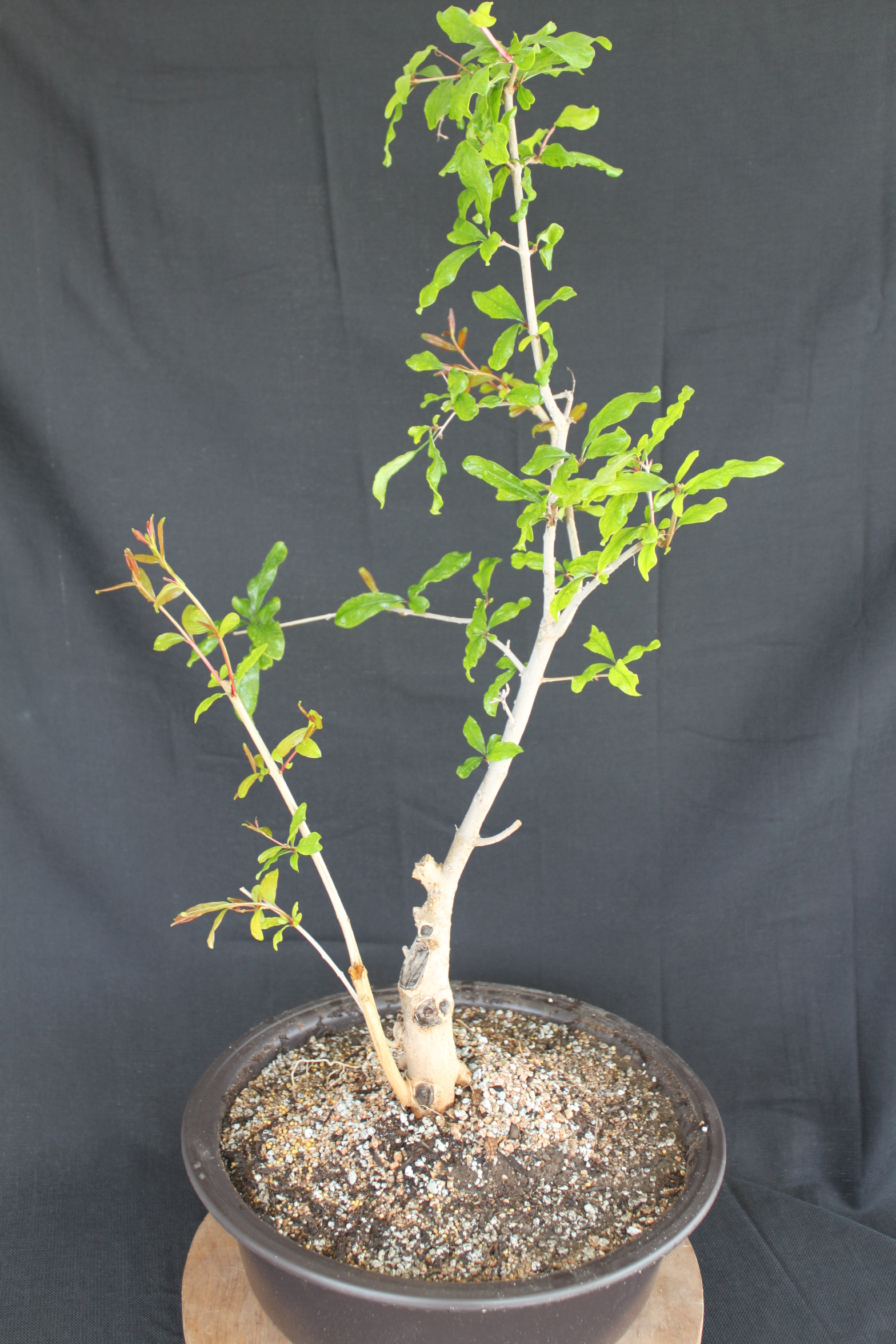 Tremendous Pomegranate Bonsai Kuromatsubonsai Com Wiring Digital Resources Funapmognl