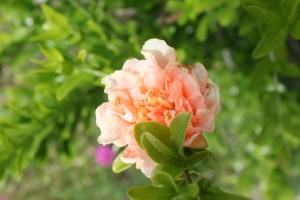 tanyosho pomegranate bloom