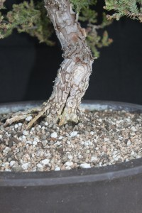 bonsai juniper trunk split