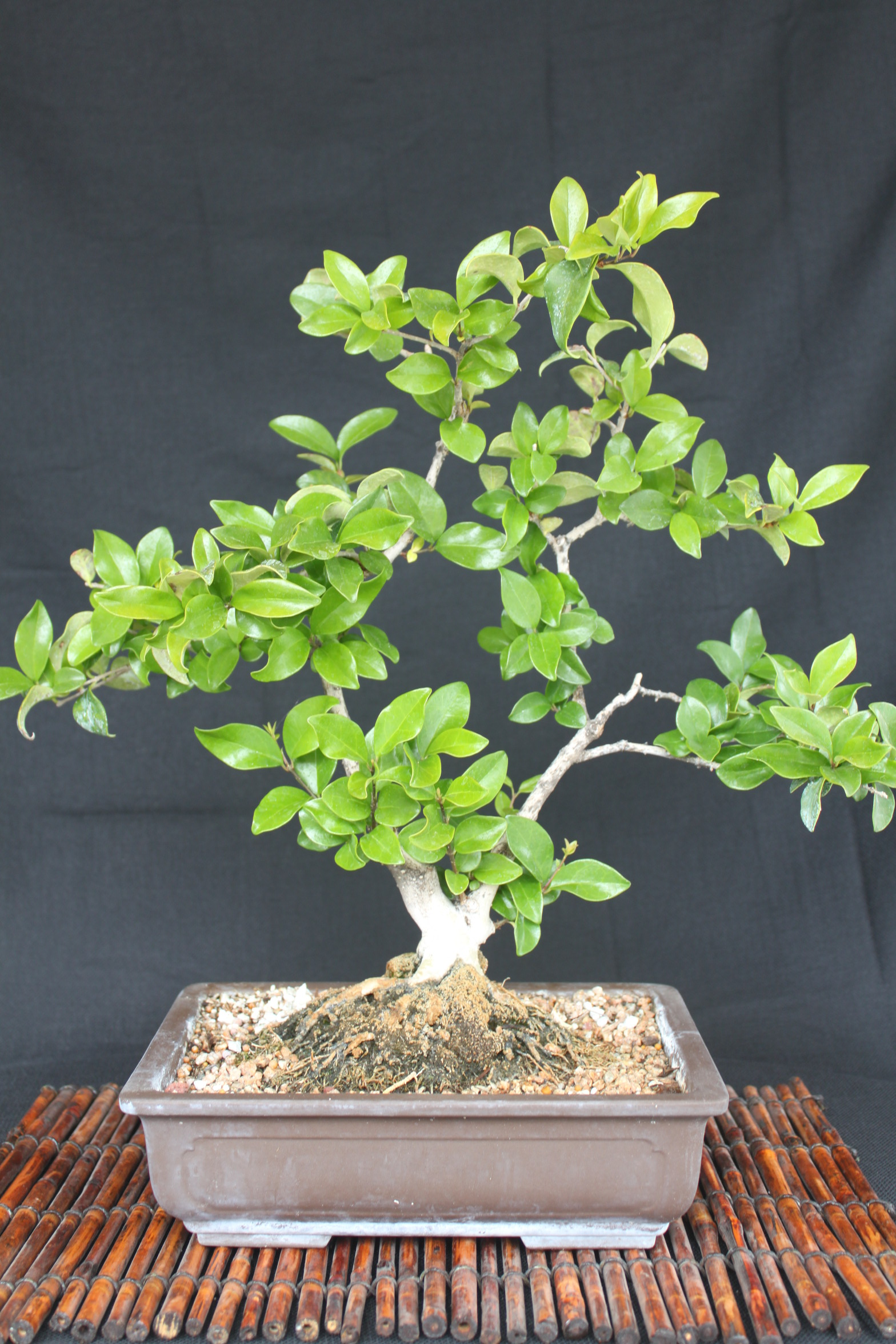 Privet Bonsai Wiring Your Tree