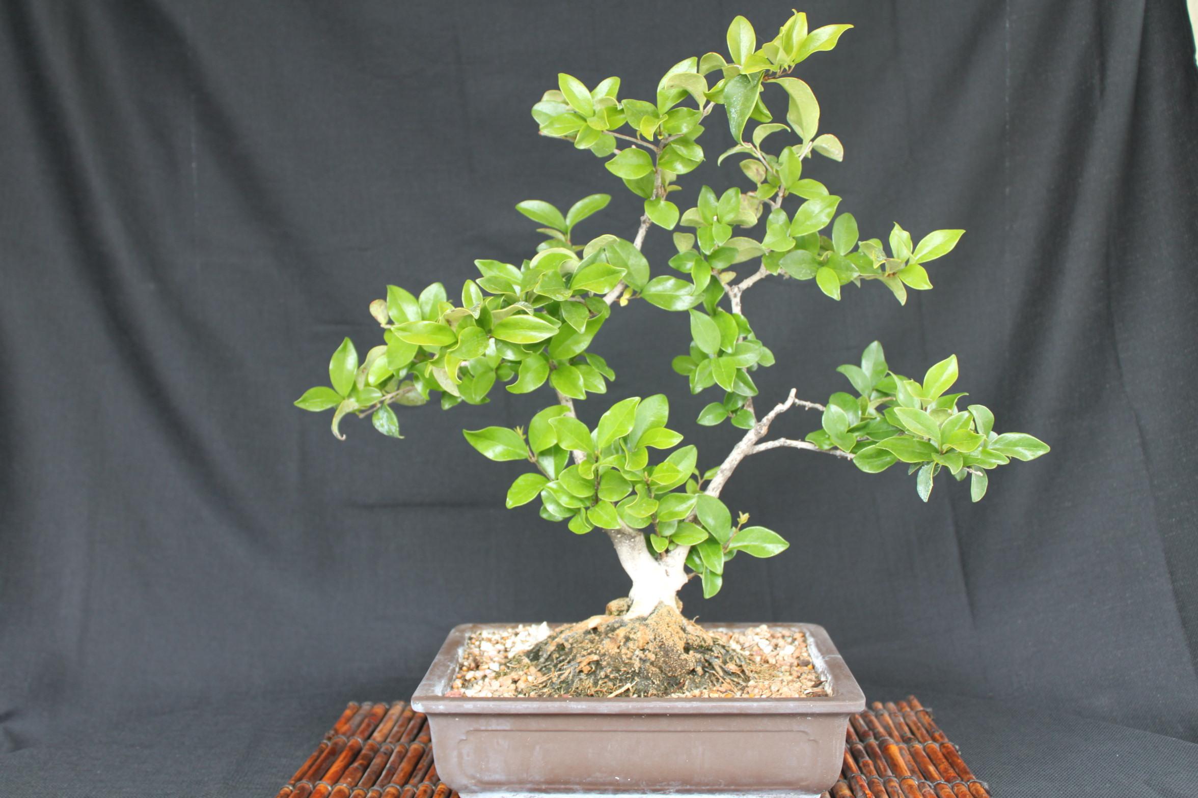 Privet Bonsai Wiring Juniper Tree