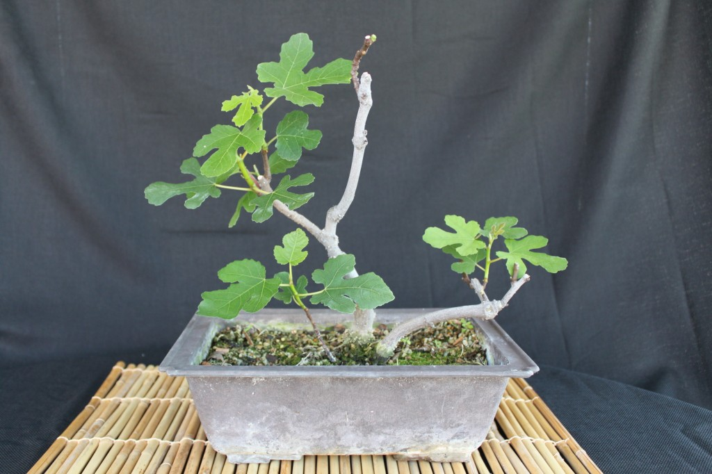 ficus carica, common fig, edible fig, ficus carica bonsai, edible fig bonsai