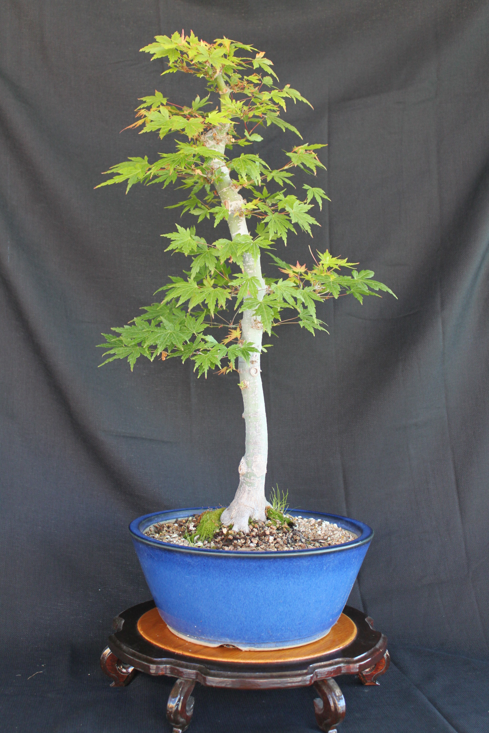 Japanese Maple Bonsai Kuromatsubonsai Com