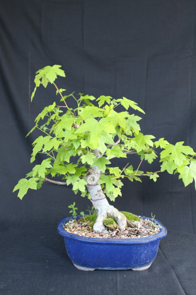Liquidambar bonsai