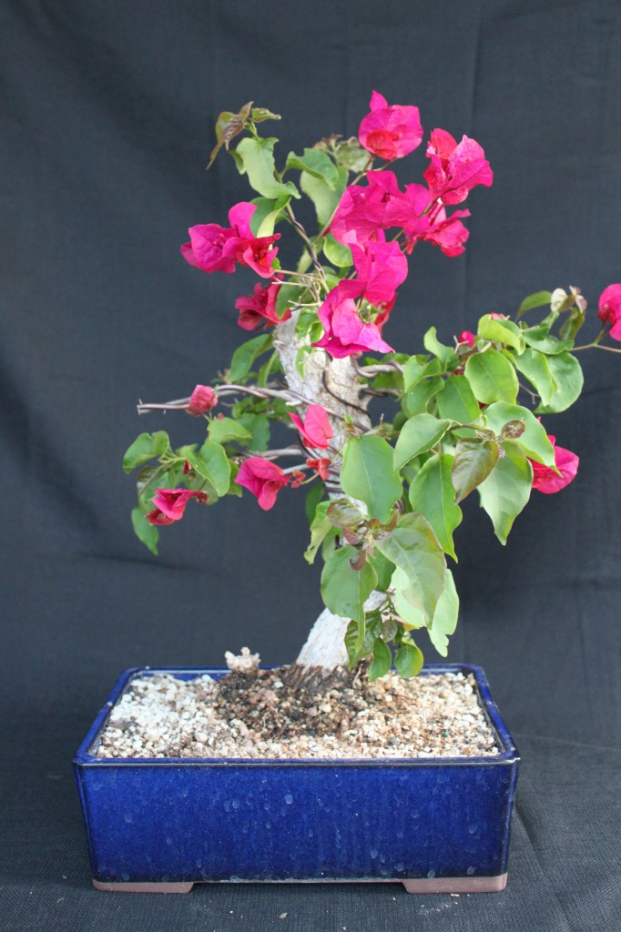 bougainvillea bonsai
