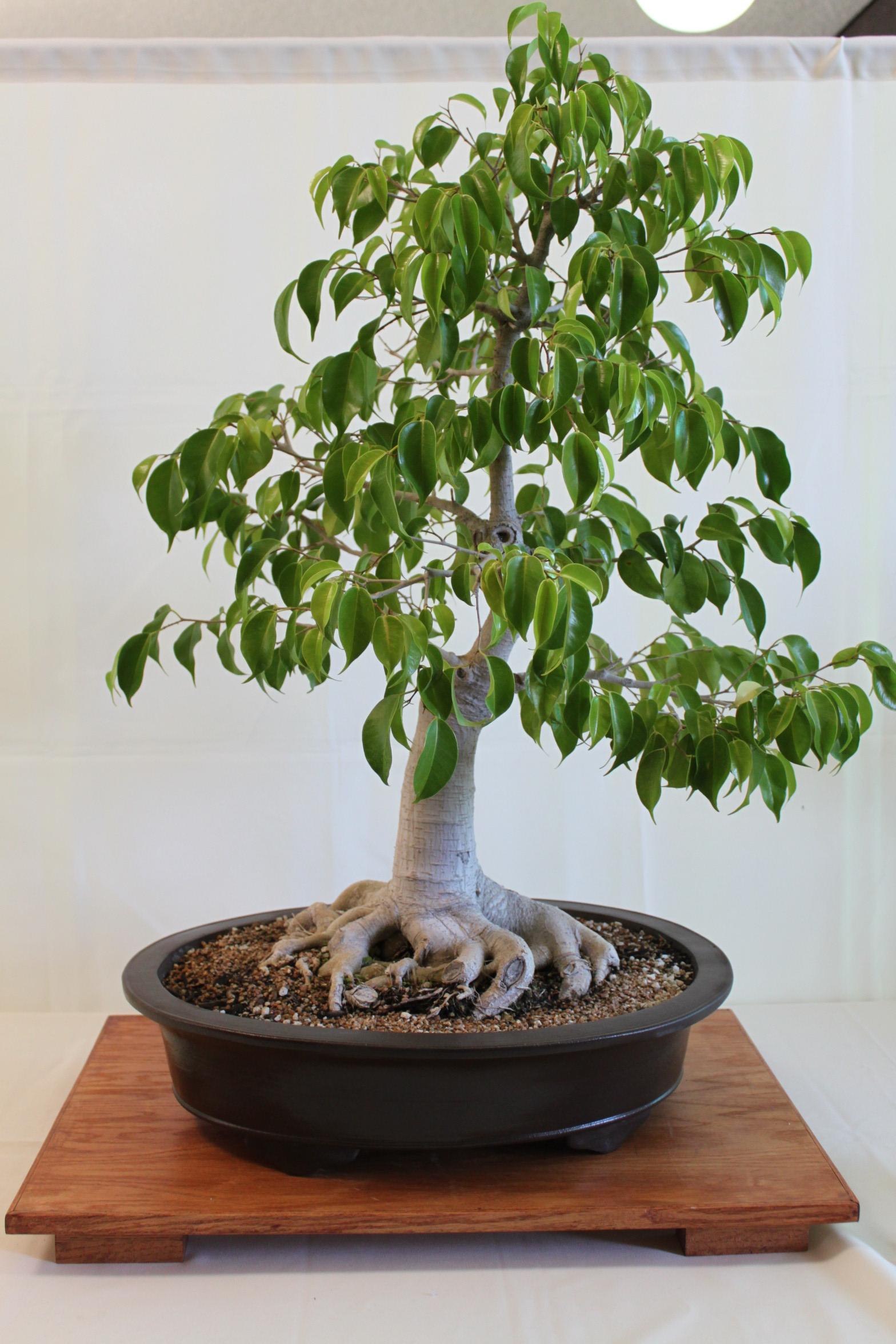 Ficus bonsai for Bonsai tree pics