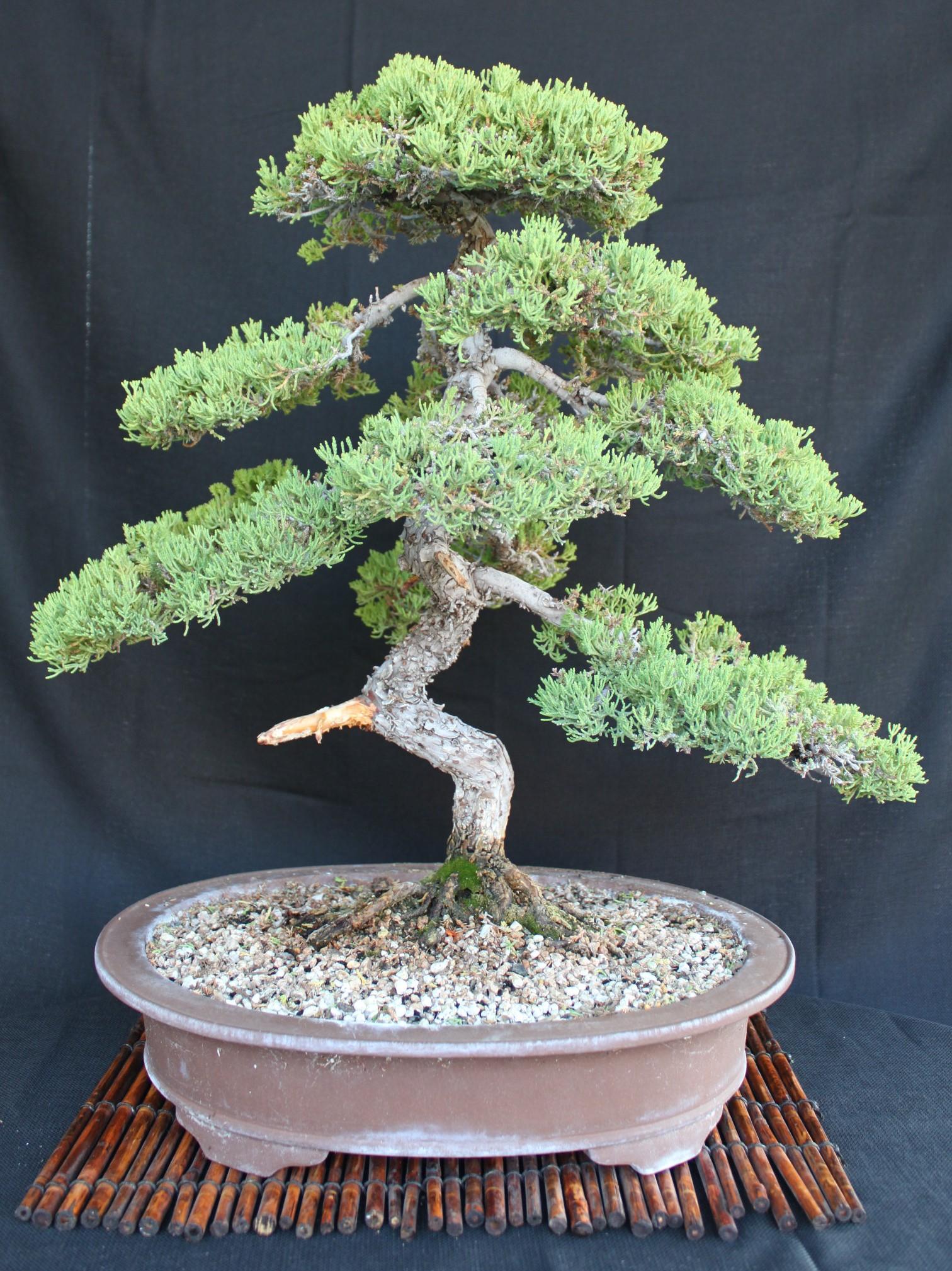 Japanese juniper bonsai care images for Famous bonsai trees
