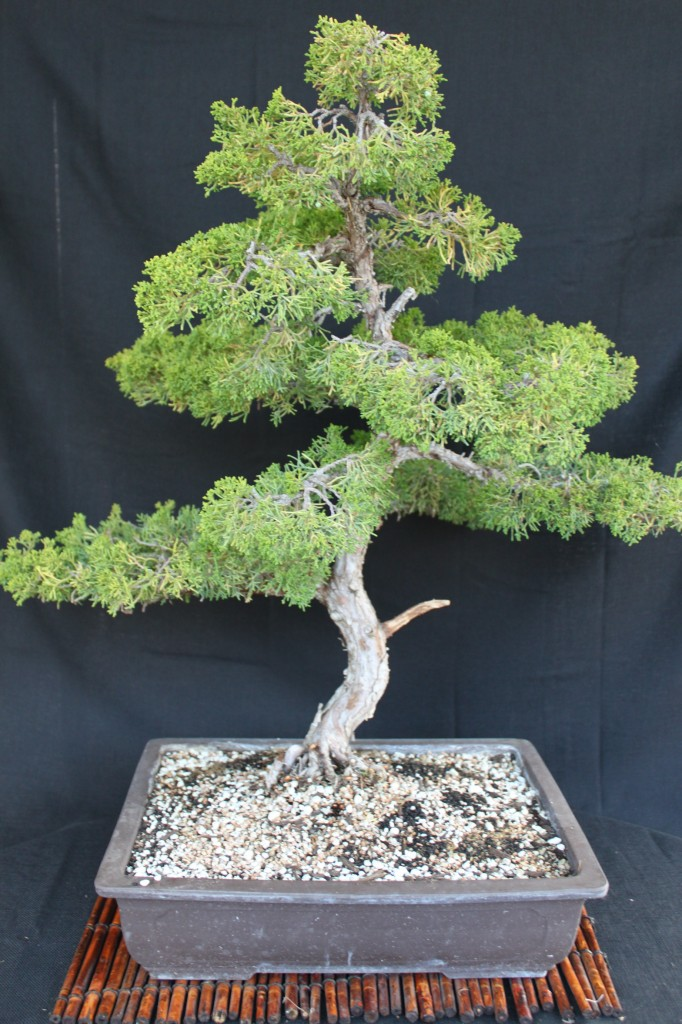 Shimpaku Juniper Or Sargent Juniper Bonsai