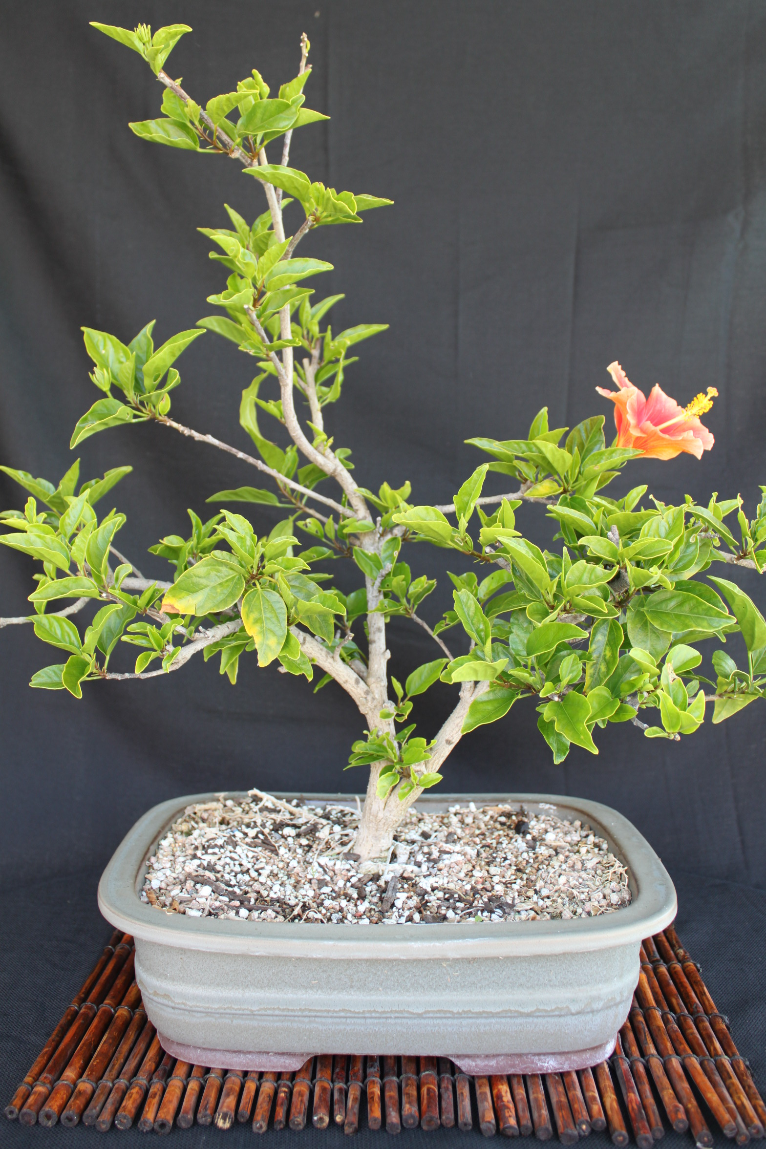 Hibiscus bonsai kuromatsubonsai hibiscus bonsai izmirmasajfo Image collections