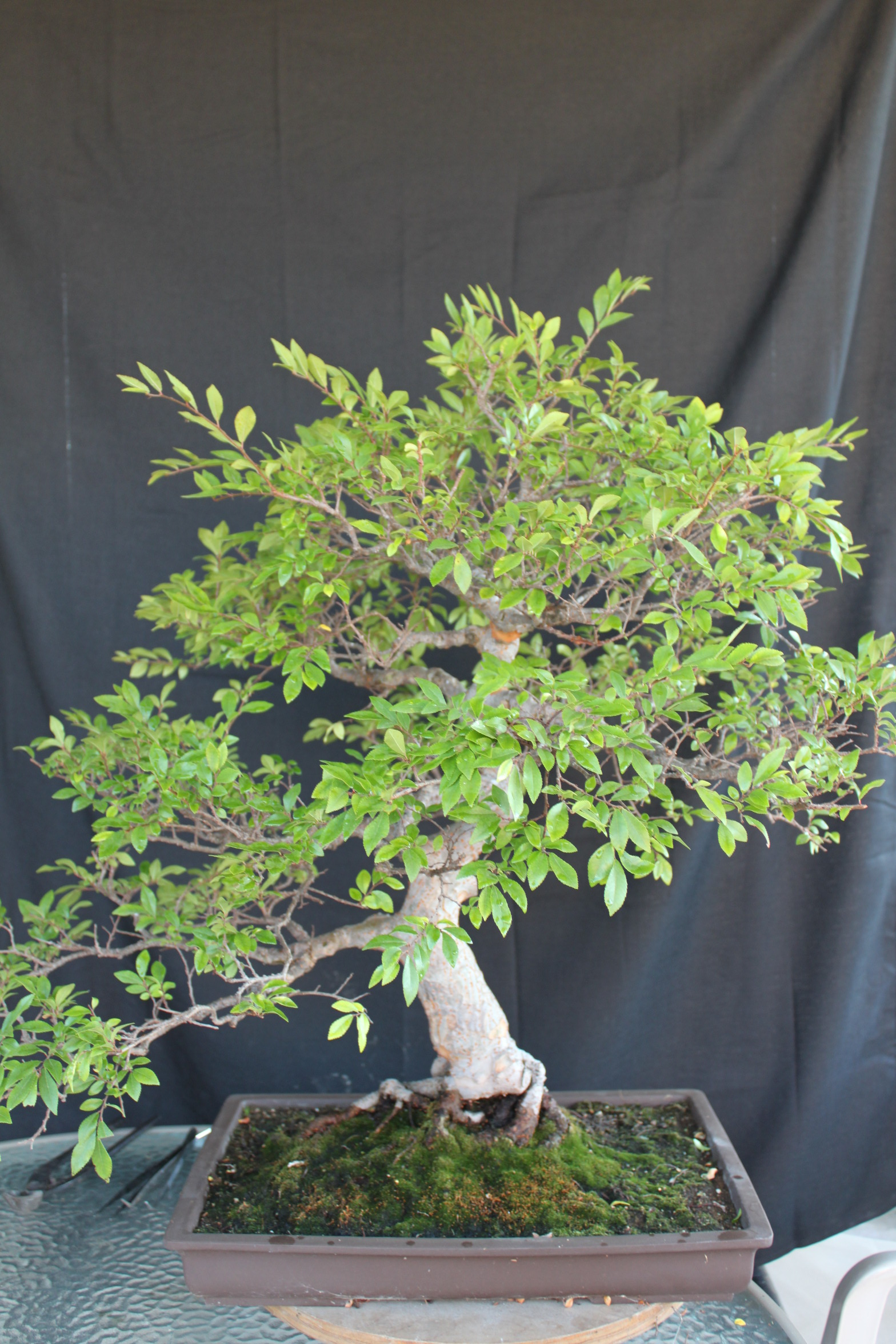 Chinese Elm Bonsai Kuromatsubonsai Com