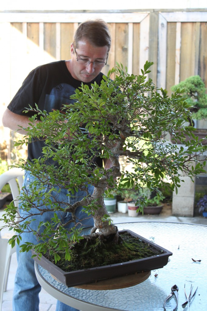 chinese elm bonsai pruning