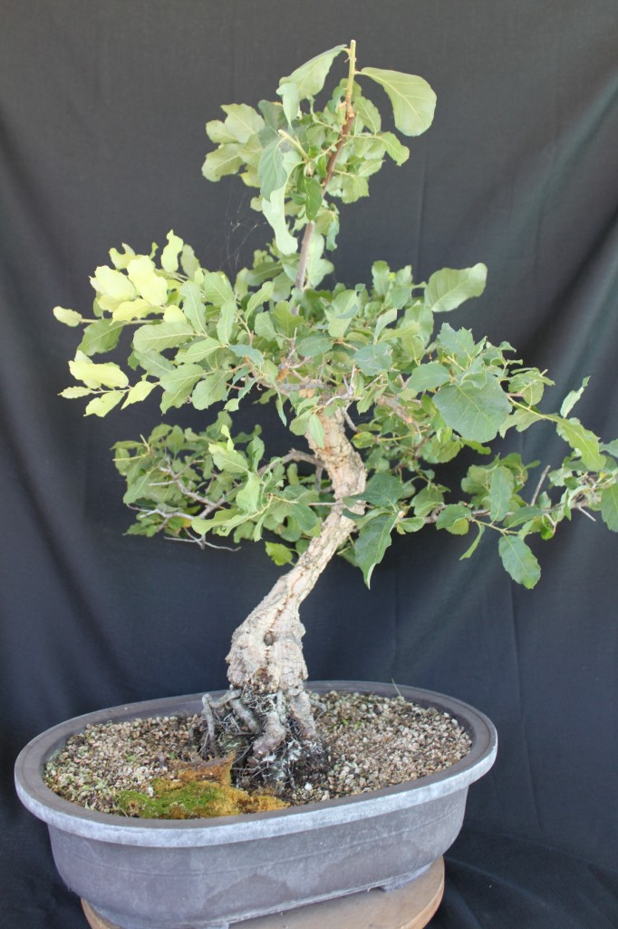cork oak bonsai, oak bonsai