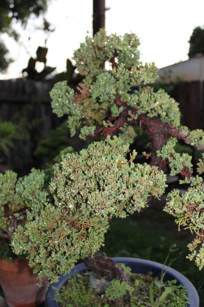 japanese juniper bonsai