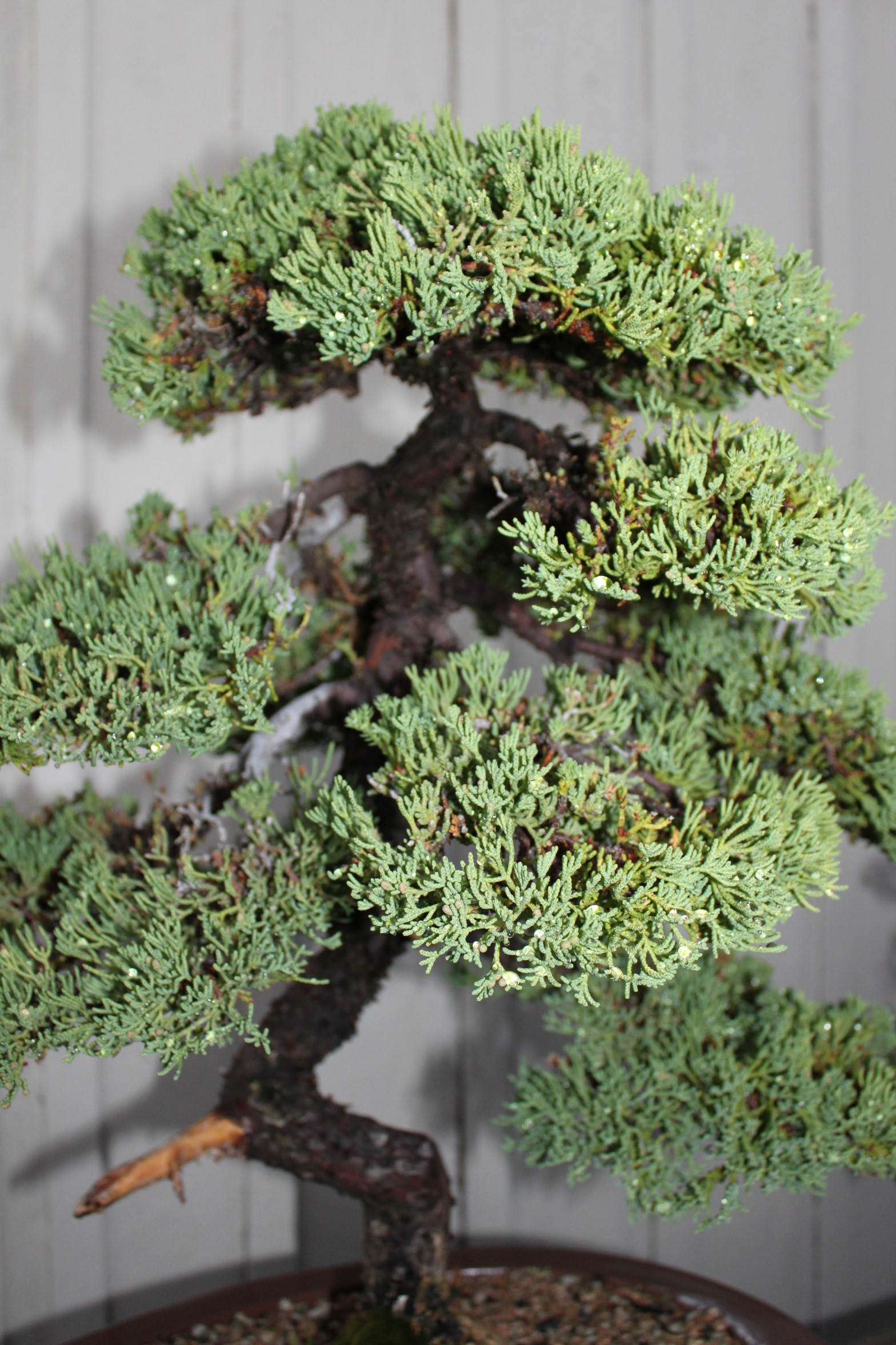 Japanese Juniper Bonsai Kuromatsubonsai Com
