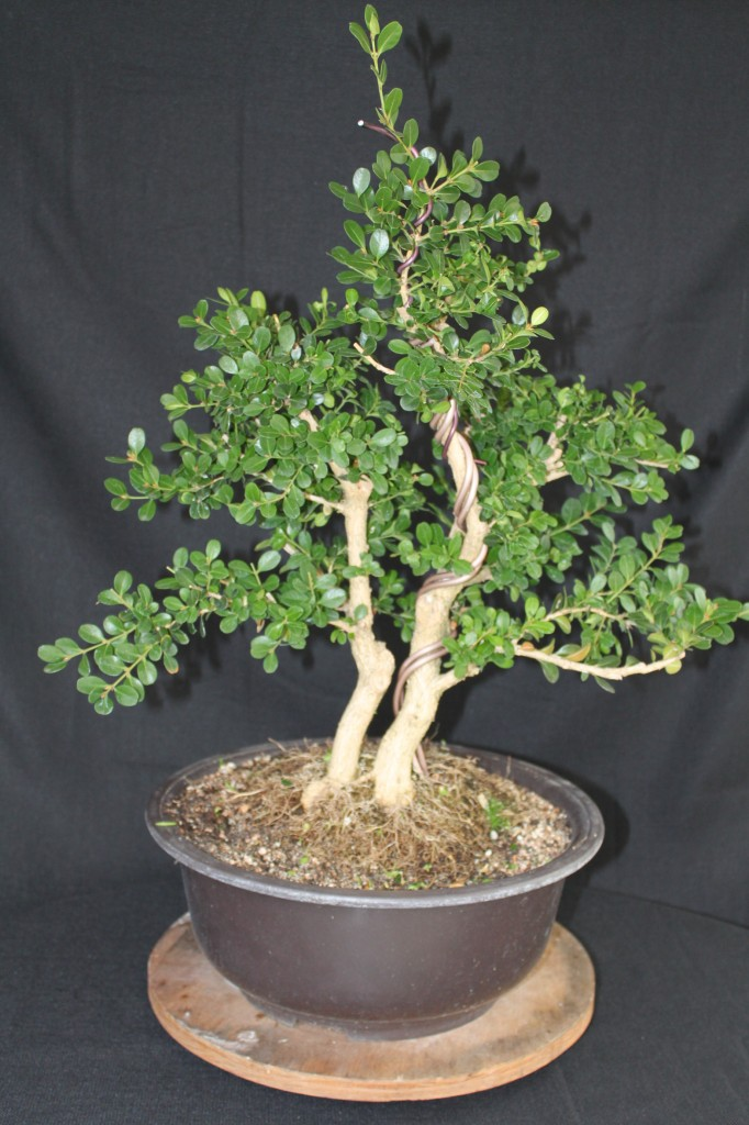 Boxwood bonsai, boxwood prebonsai, recently shaped boxwood prebonsai, boxwood bonsai demonstration