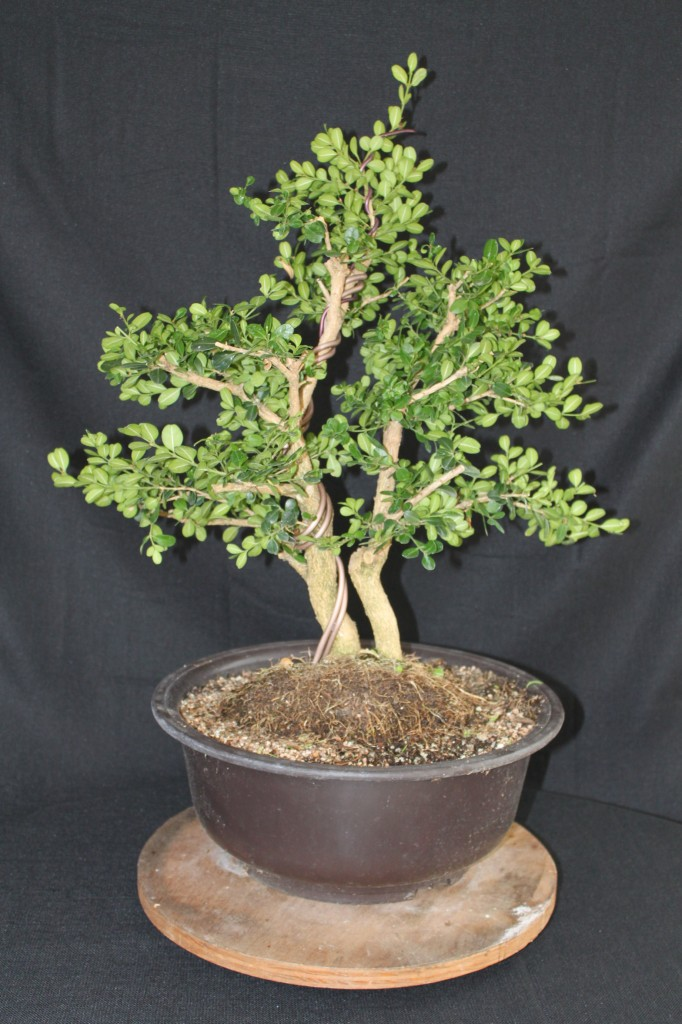 boxwood bonsai, boxwood prebonsai, boxwood bonsai shaping, boxwood bonsai pruning