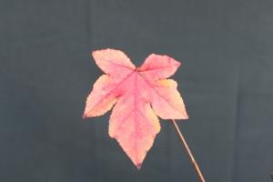 liquidambar fall leaf