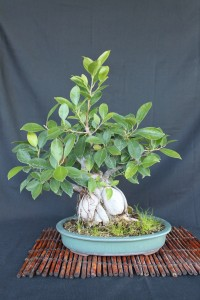 ginseng ficus bonsai with thick trunk