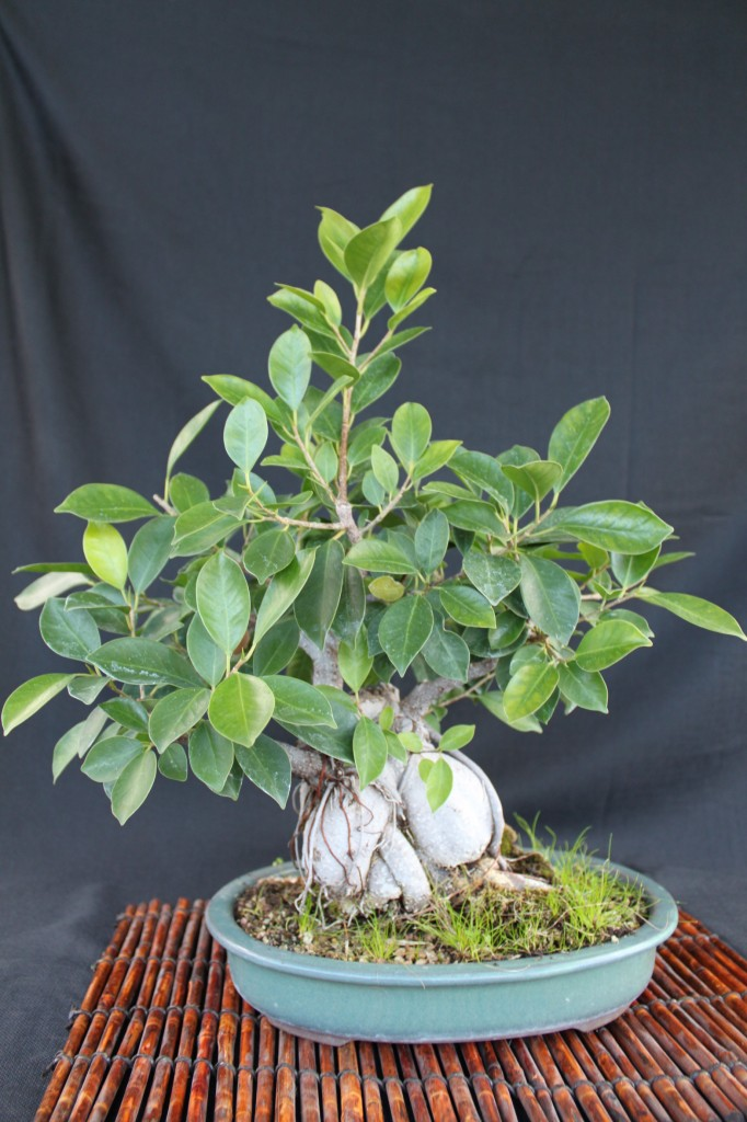 ginseng ficus, ginseng ficus bonsai, how to bonsai ginseng ficus