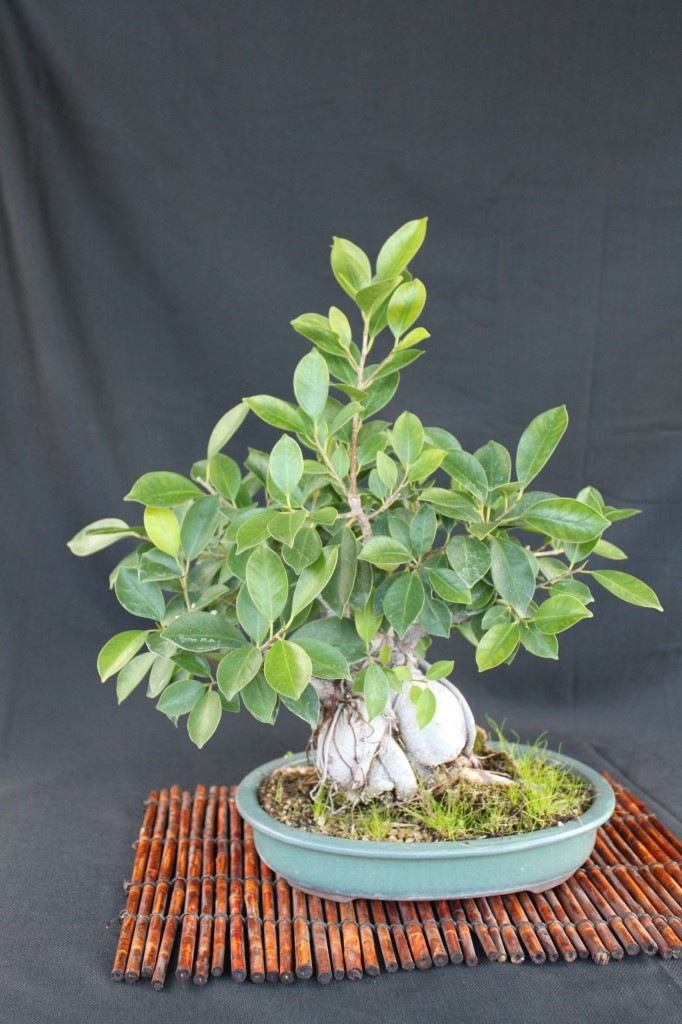 ginseng ficus, ginseng ficus bonsai, ginseng ficus bonsai how to