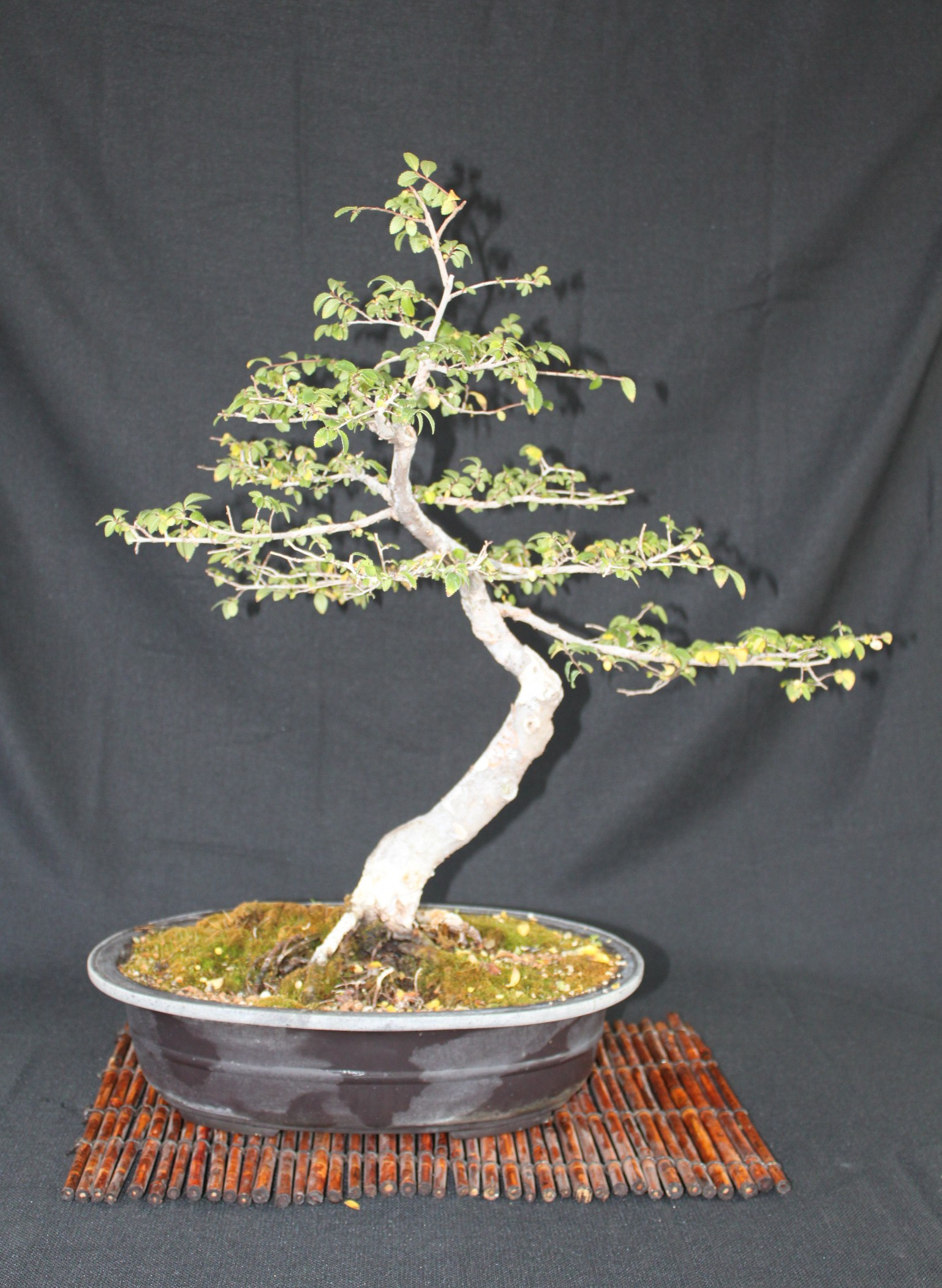 Stupendous Chinese Elm Bonsai Kuromatsubonsai Com Wiring Digital Resources Funapmognl