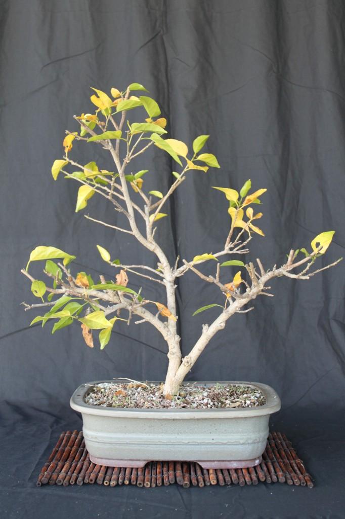hibiscus bonsai in winter