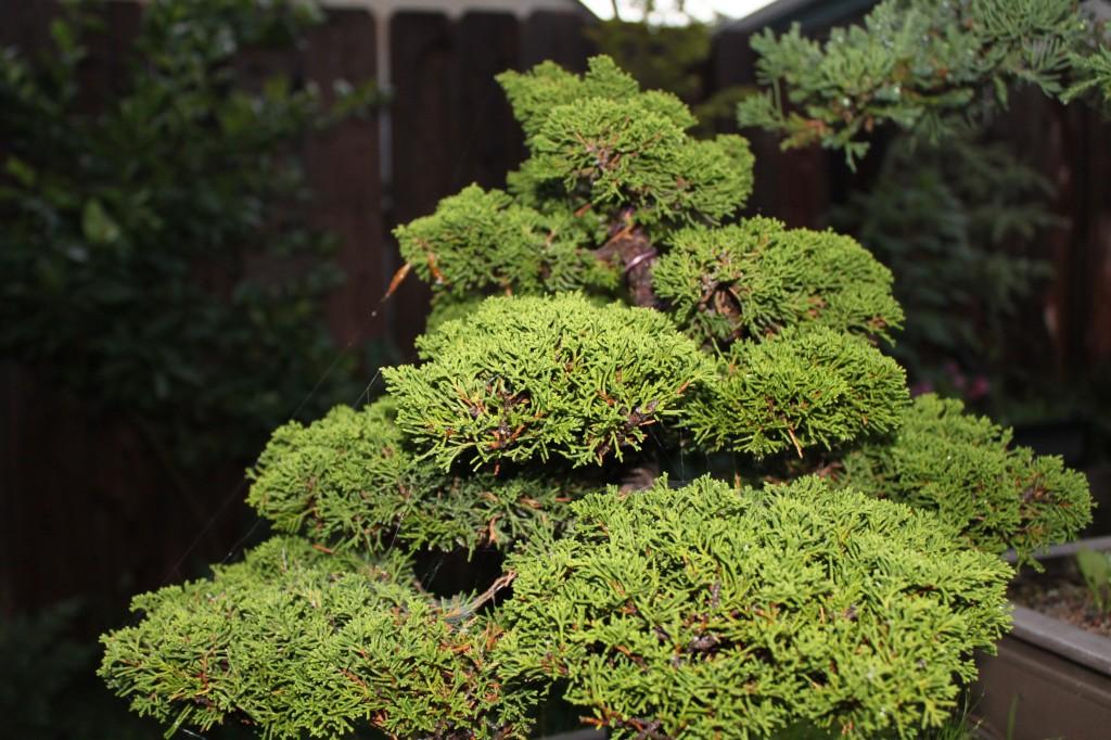 shimpaku juniper bonsai, sargent juniper bonsai, itoigawa shimpaku, itoigawa bonsai