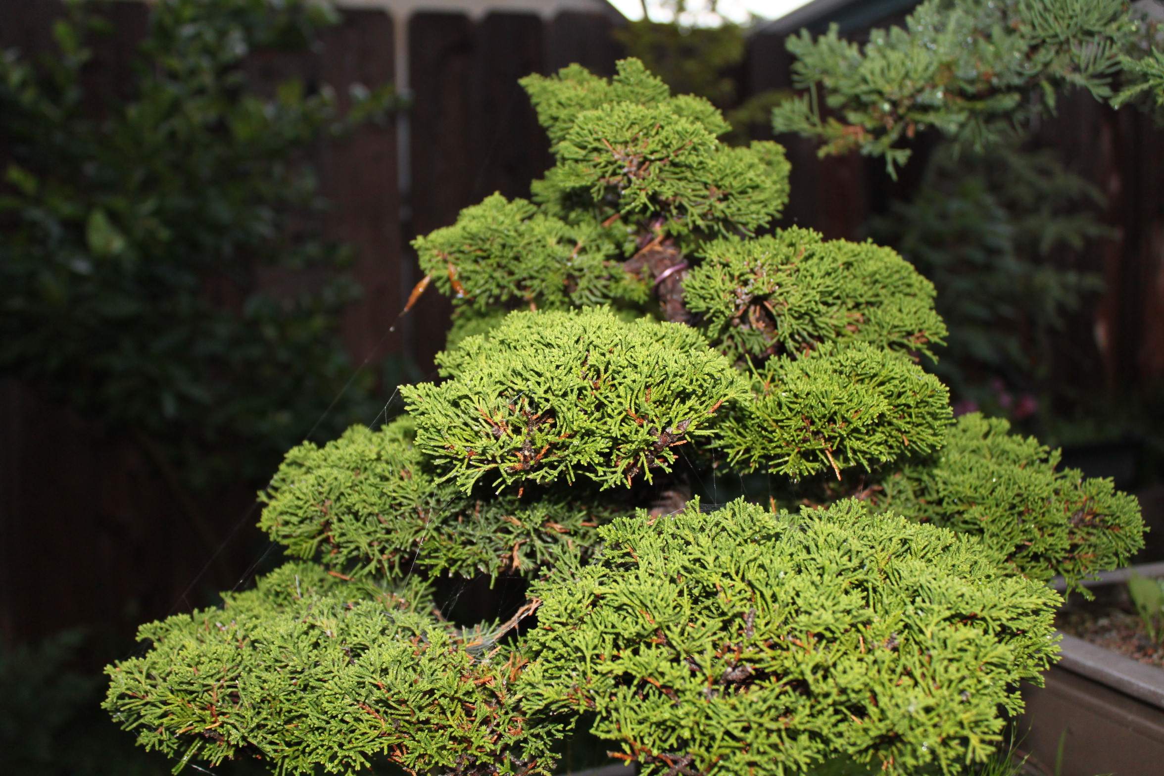 Shimpaku juniper or sargent juniper bonsai for The juniper