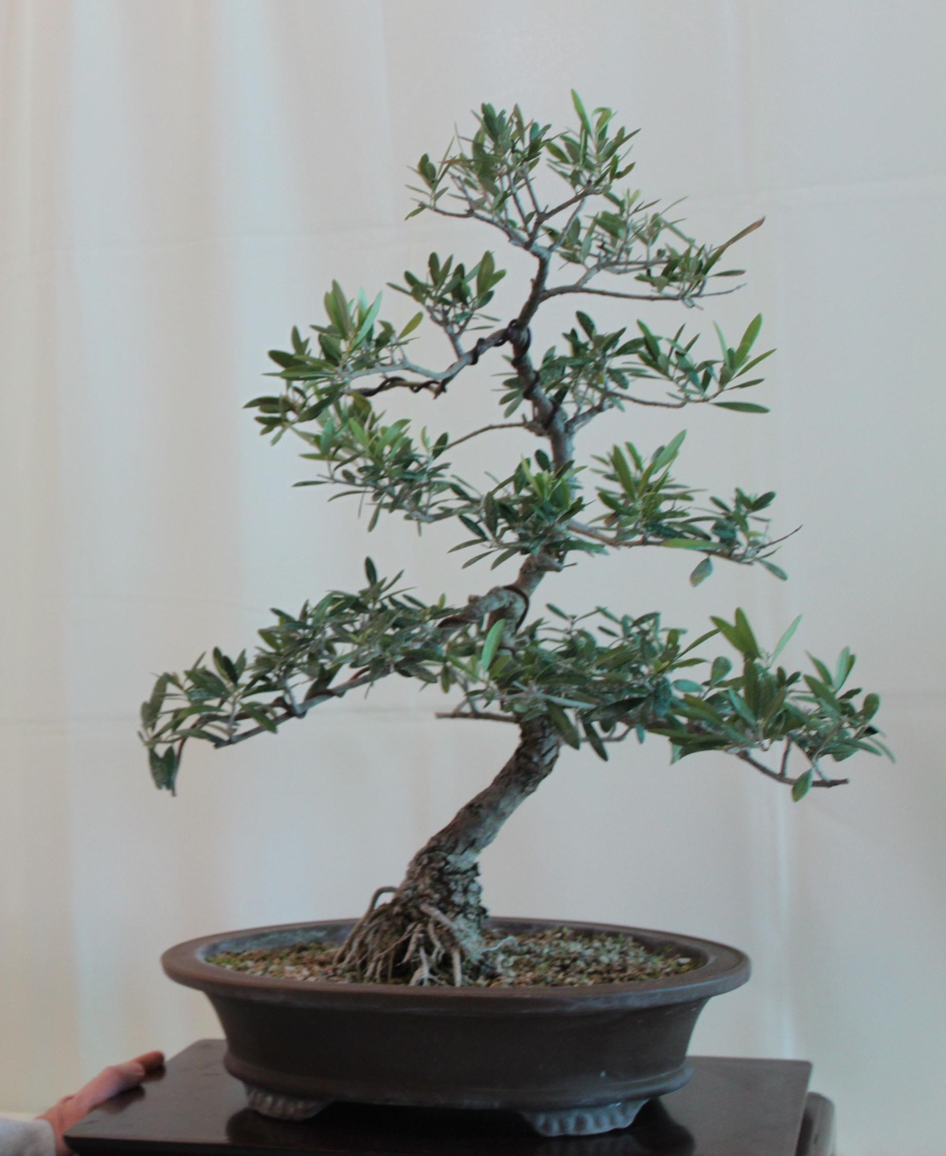 How to trim an ornamental olive tree garden design ideas for Growing olive tree indoors