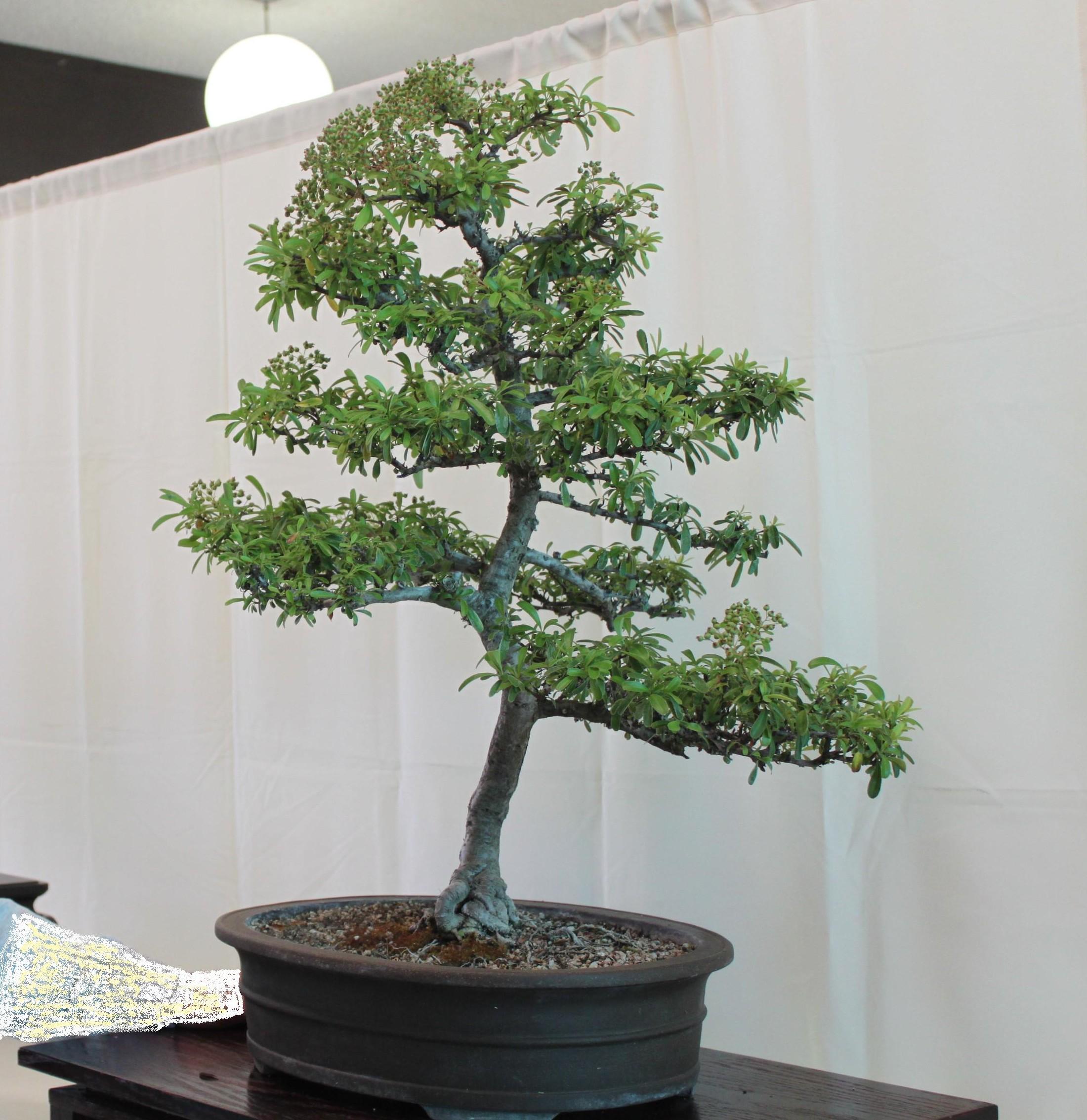 Pyracantha Bonsai Kuromatsubonsai