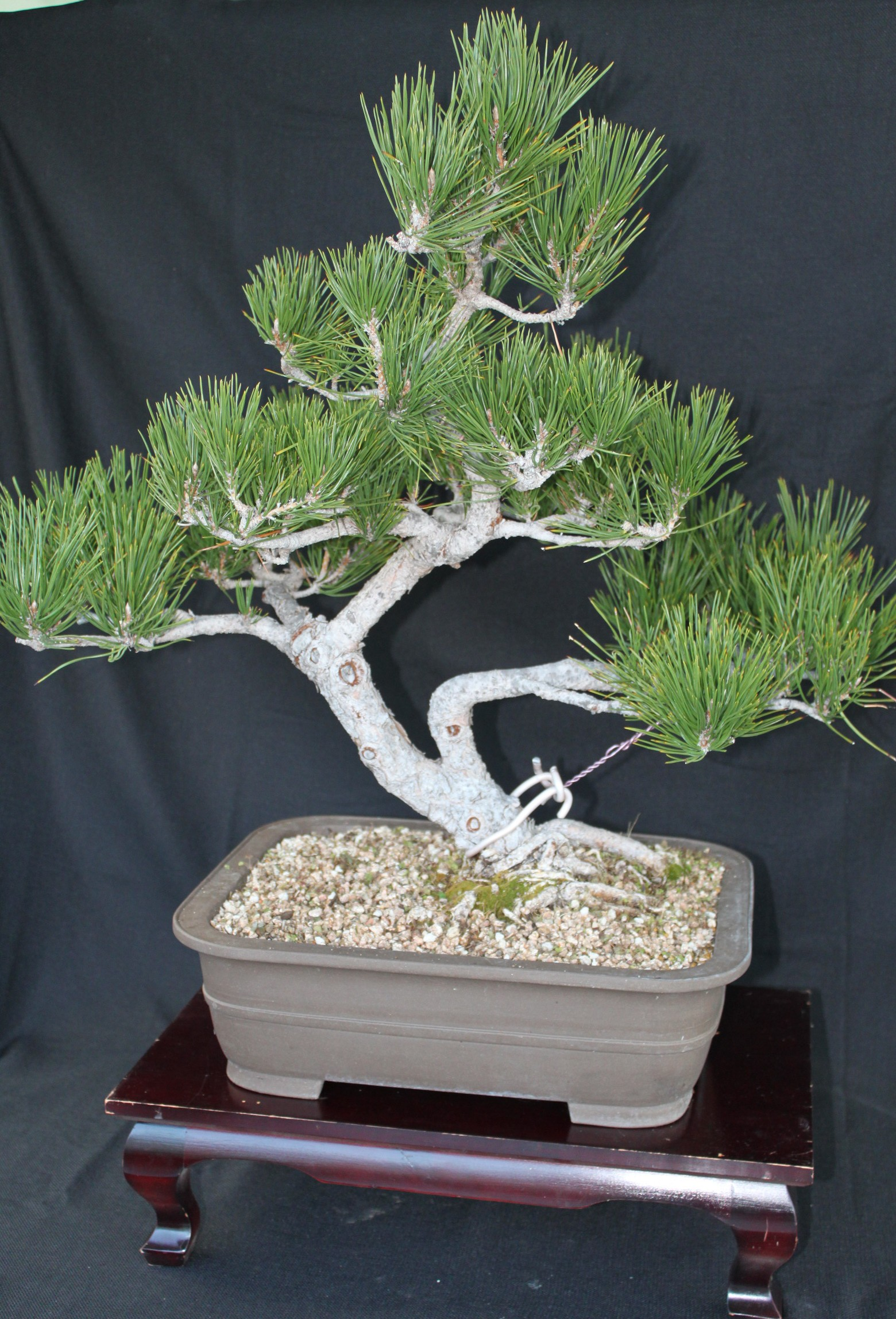 Black Pine Bonsai Kuromatsubonsai Com