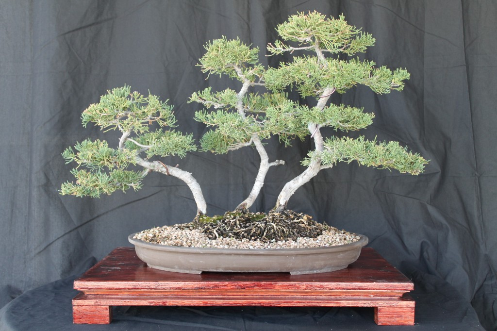 prostrata juniper group bonsai