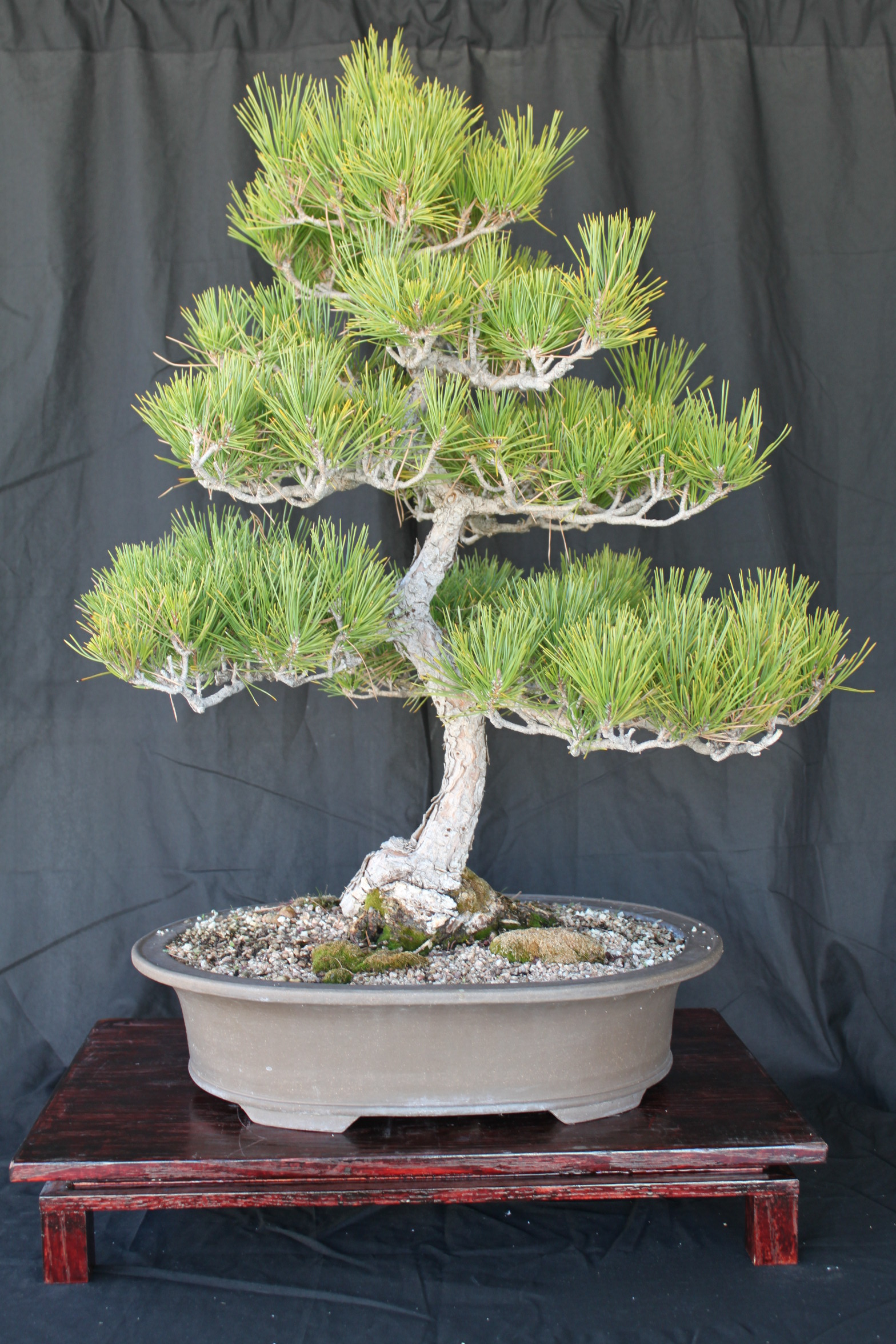Black Pine Bonsai What Does Wiring A Do